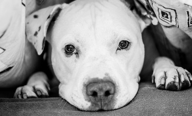 Black and  white picture of American Pitbull in bed