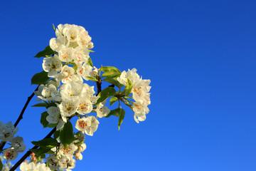 Kwiaty jabłoni na tle błękitnego, niebieskiego nieba.
