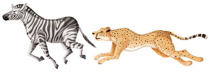 Cheetah chasing after zebra on white background Wall mural