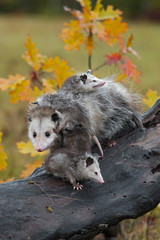 Fototapete - Virginia Opossum (Didelphis virginiana) Mother Endures Joeys Climbing on Her Autumn