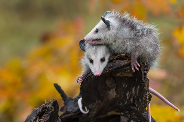 Fotomurales - Virginia Opossum (Didelphis virginiana) Joeys Huddle Together Atop Log Autumn