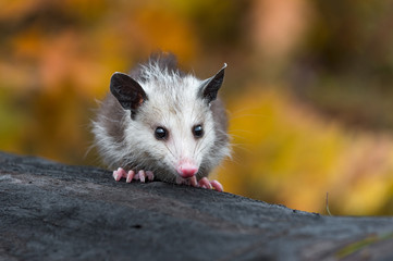 Fotomurales - Virginia Opossum (Didelphis virginiana) Joey Sits Alone on Log Autumn