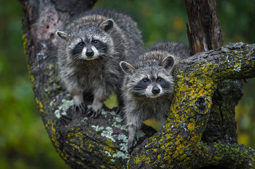Fotomurales - Raccoons (Procyon lotor) Stare Out Out From Tree Autumn