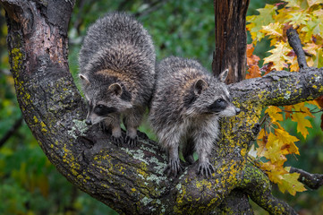 Fotomurales - Raccoons (Procyon lotor) in Tree Look in Opposite Directions Autumn