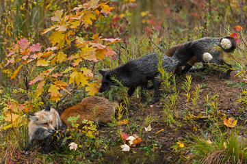 Fotomurales - Red Foxes (Vulpes vulpes) Variations All Together Autumn