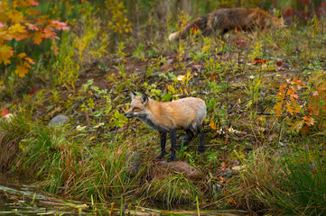 Fotomurales - Amber Phase (Vulpes vulpes) Stands on Shoreline Red in Background Autumn