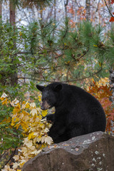 Fototapete - Black Bear (Ursus americanus) Grabs Branch and Turns Around on Rock Autumn