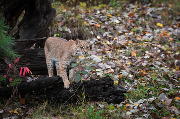 Fotomurales - Bobcat (Lynx rufus) Stands on Log Staring Out Autumn