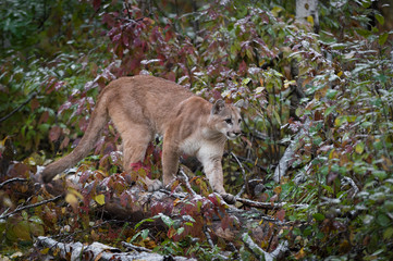 Fotomurales - Cougar (Puma concolor) Walks Right Across Snow Dusted Log Autumn