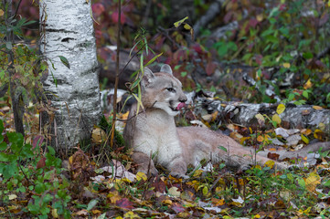 Fotomurales - Cougar (Puma concolor) Lies Next to Birch Tree Licking Lips Autumn