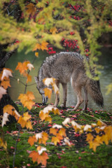 Fototapete - Coyote (Canis latrans) Sniffs Ground on Opposite Side of Island Autumn