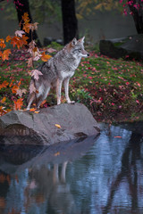Fototapete - Coyote (Canis latrans) Stands on Rock Reflected in Pond Looking Out Autumn