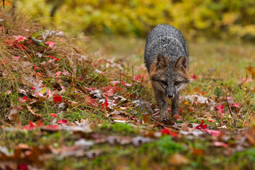 Fototapete - Grey Fox (Urocyon cinereoargenteus) Walks Forward Through Autumn Leaves
