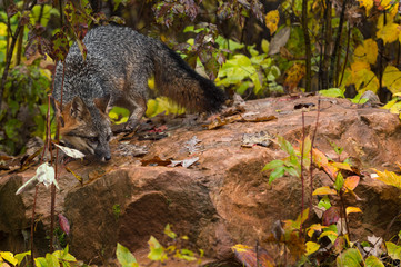 Fototapete - Grey Fox (Urocyon cinereoargenteus) Turns on Rock Looking Down Autumn