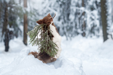 Fototapete - Beautiful dog with a stick in the winter forest. Border collie in winter Park