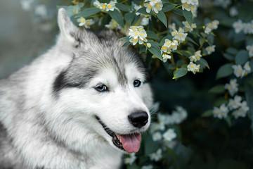 Fototapete - Beautiful portrait of a Siberian Husky in flowers. Good quality photo
