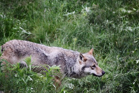 Close-up Of Wolf On Field