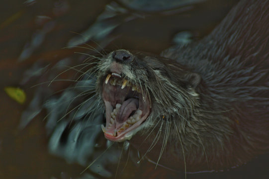 High Angle View Of Otter Yawning In Lake