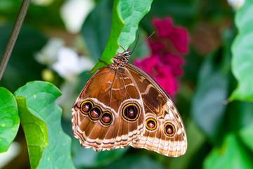 Ingelijste posters Vlinder Blue Morpho, Morpho peleides, big butterfly sitting on green leaves, beautiful insect in the nature habitat