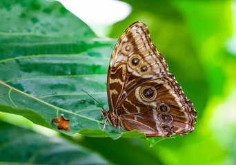 Photo sur cadre textile Papillon Blue Morpho, Morpho peleides, big butterfly sitting on green leaves, beautiful insect in the nature habitat