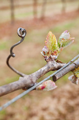 Grape bud new growth cluster with tendril in macro view on grapevine