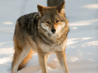 Portrait Of Wolf On Snow Against Sky