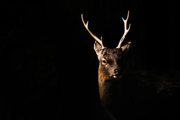 Close-up Of Horned Deer Over Black Background