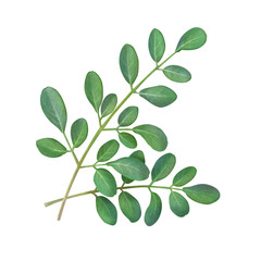 Moringa Leaf Hand Drawn Pencil Illustration Isolated on White with Clipping Path
