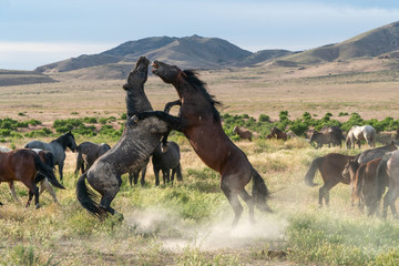 Wild horses fighting in the Utah desert