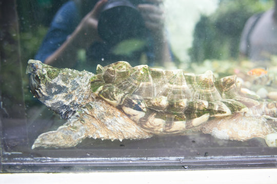 Person Photographing Alligator Snapping Turtle In Aquarium