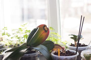 damaged leaves of indoor orchids Fototapete