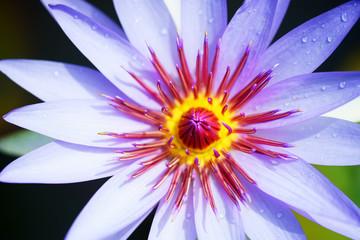 Wall Mural - close up of purple lotus flower