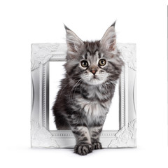 Wall Mural - Super cute silver tabby Maine Coon cat kitte, stepping through white photo frame. Looking dreamy towards camera. Isolated on white background.