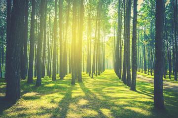 Fotobehang Bossen pine tree forest landscape