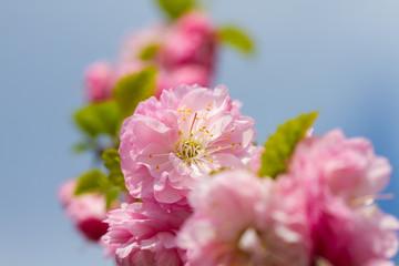 Wall Mural - Delicate sakura flowers bloomed