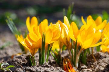 Wall Mural - Yellow crocuses bloomed in the sunlight