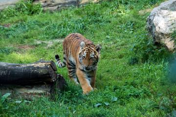 tygrys