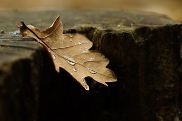 Close-up Of Brown Oak Leaf On Tree Stump During Autumn
