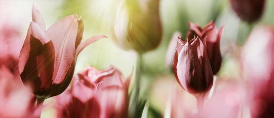 Fotoväggar - tulpen rot dunkelrot licht trauer