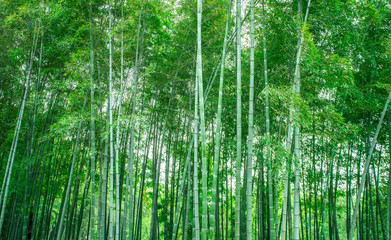 Printed roller blinds Bamboo Sunshine and green bamboo forest