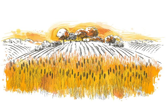 Vector rural summer landscape a field of ripe wheat on hills