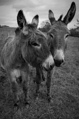 Printed roller blinds Ass Donkeys On Grassy Field Against Sky
