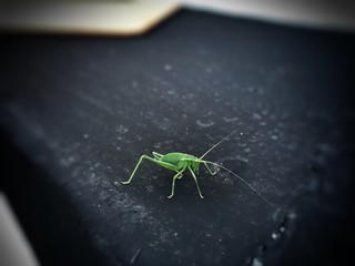 High Angle View Of Green Cricket Insect On Black Surface Wall mural