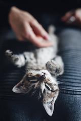 zwierzak, domowych, kociak, kot, pupil, oczy, tygrys, dachowiec, kochany, słodki, maleńki, life style, dom, zabawa, czułość, głaskanie, śpiący kot, kły, pazurki, właściciel, pet, domestic, kitten, cat