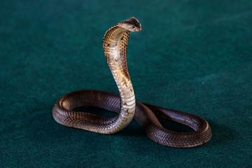 Thai spitting cobra, Siamese spitting cobra or black-and-white spitting cobra