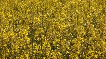 Wall Mural - Blooming rapeseed canola field in springtime