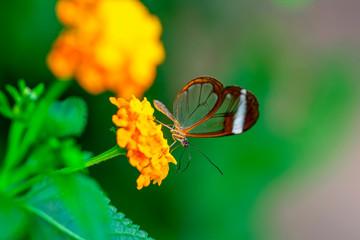 Closeup beautiful glasswing Butterfly (Greta oto) in a summer garden.