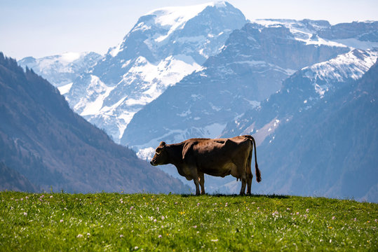 cow in the swiss alpine mountains against Mount Töbi in Glarus