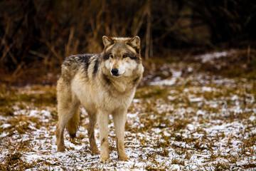 Portrait Of Wolf Standing On Snow Field