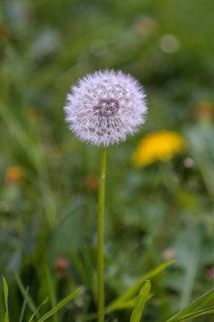 dandelion on a meadow